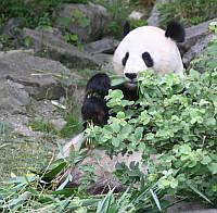 verdens største panda
